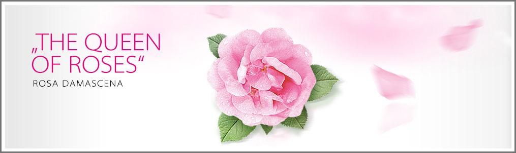 Rosa de Bulgaria, Damascena o de Alejandría
